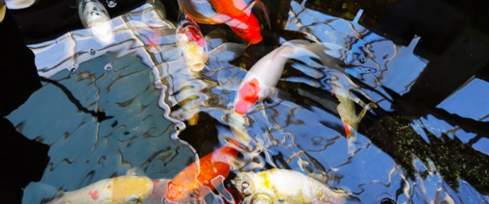 koi in fishpond