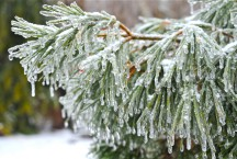 conifers with ice